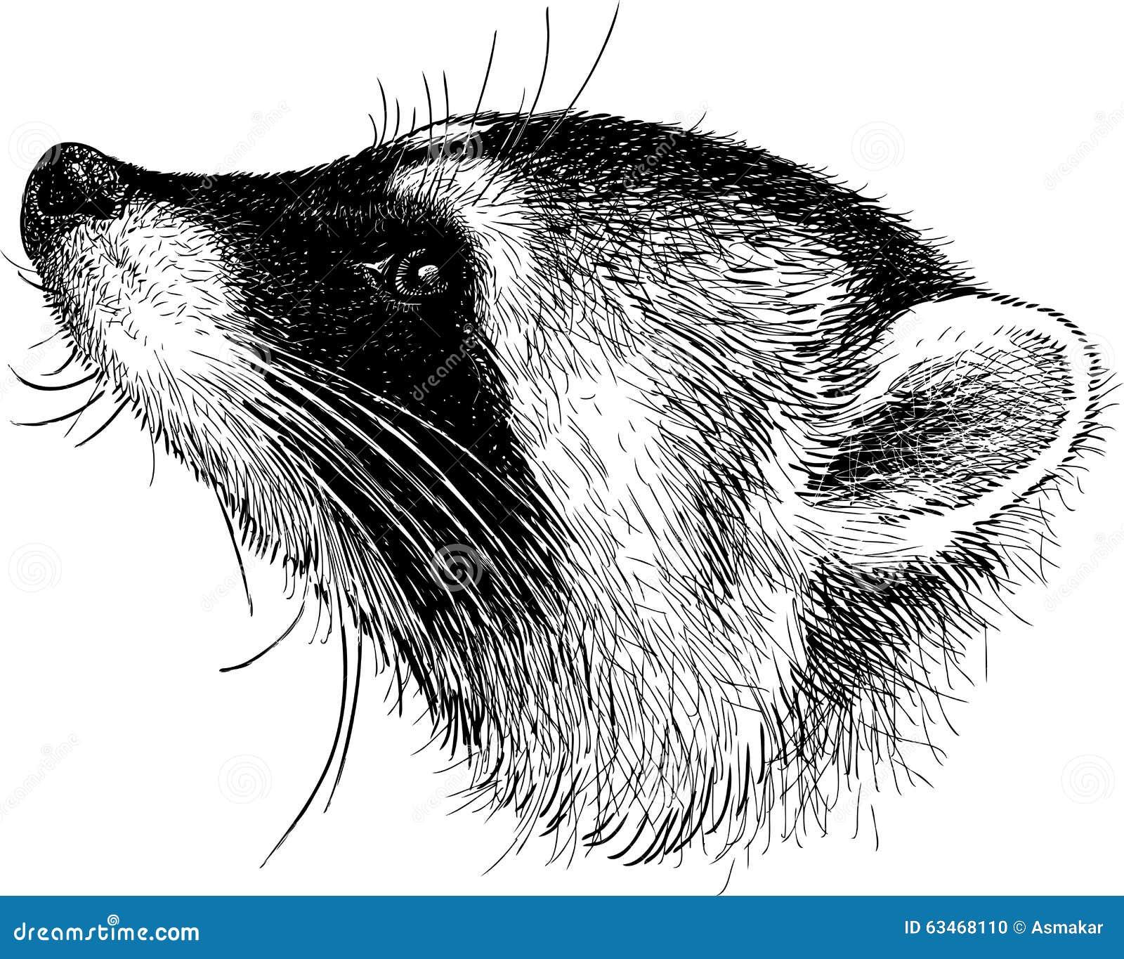 Head Of Raccoon Stock Vector Image 63468110