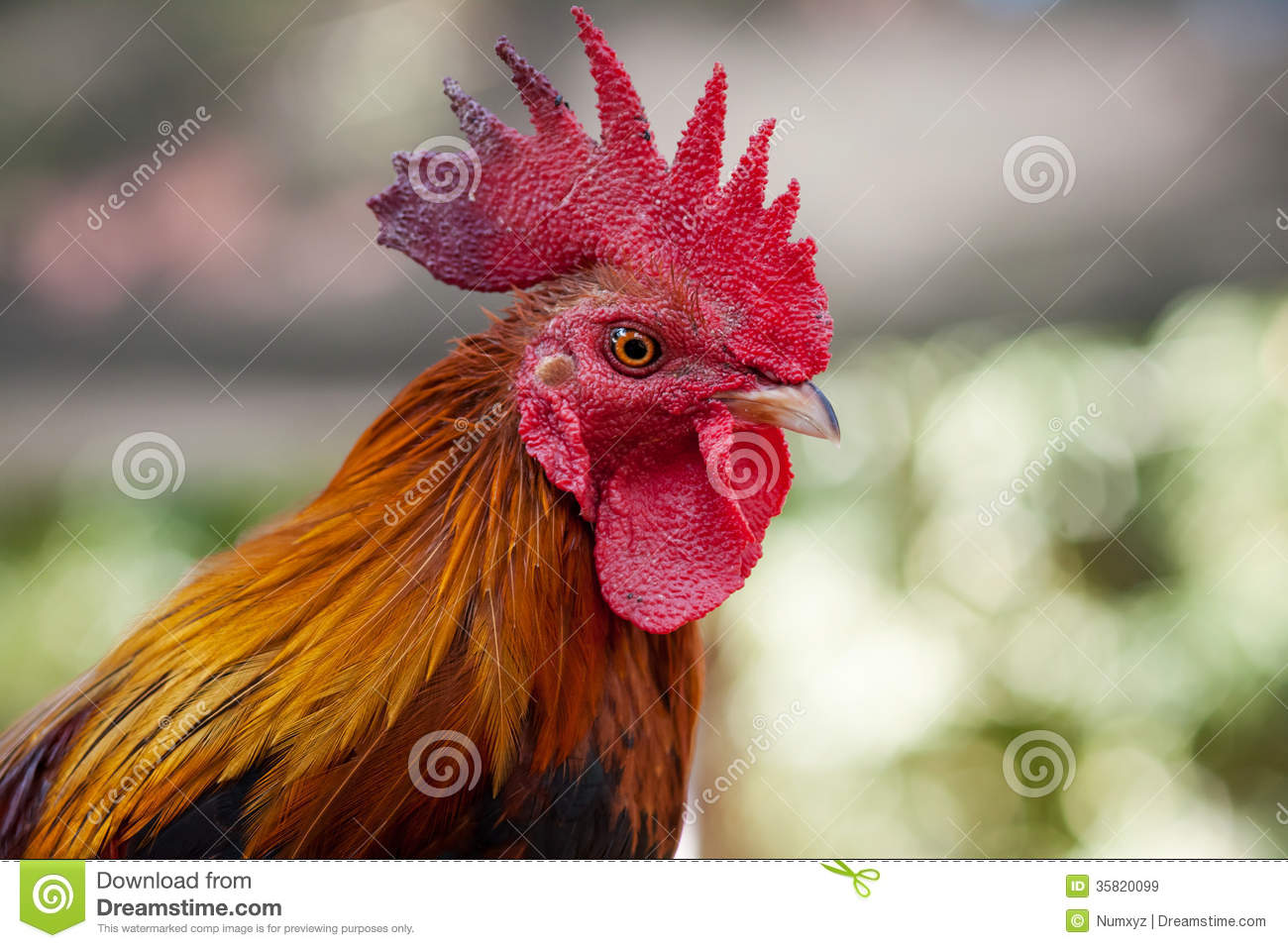 head roosters royalty free stock images