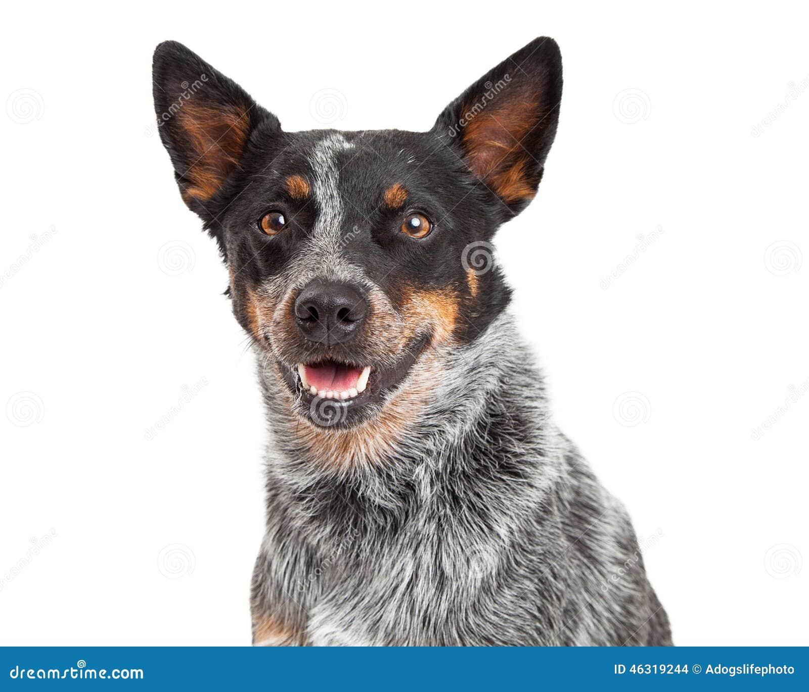 Head Shot Of An Australian Cattle Dog
