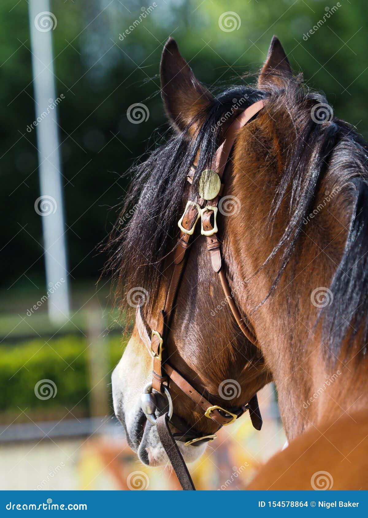 Welsh Pony Headshot