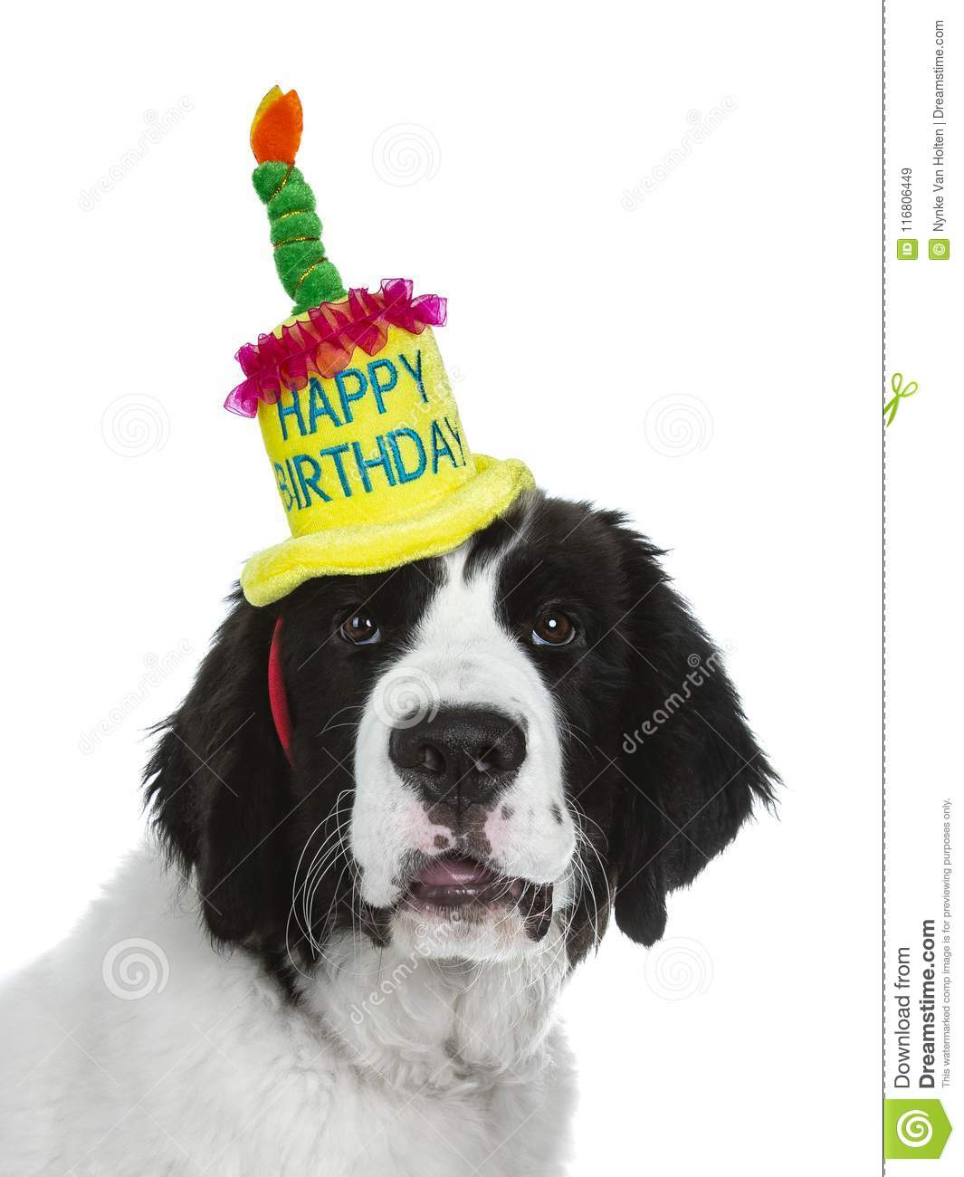 Black And White Landseer Puppy With Birthday Hat On Background