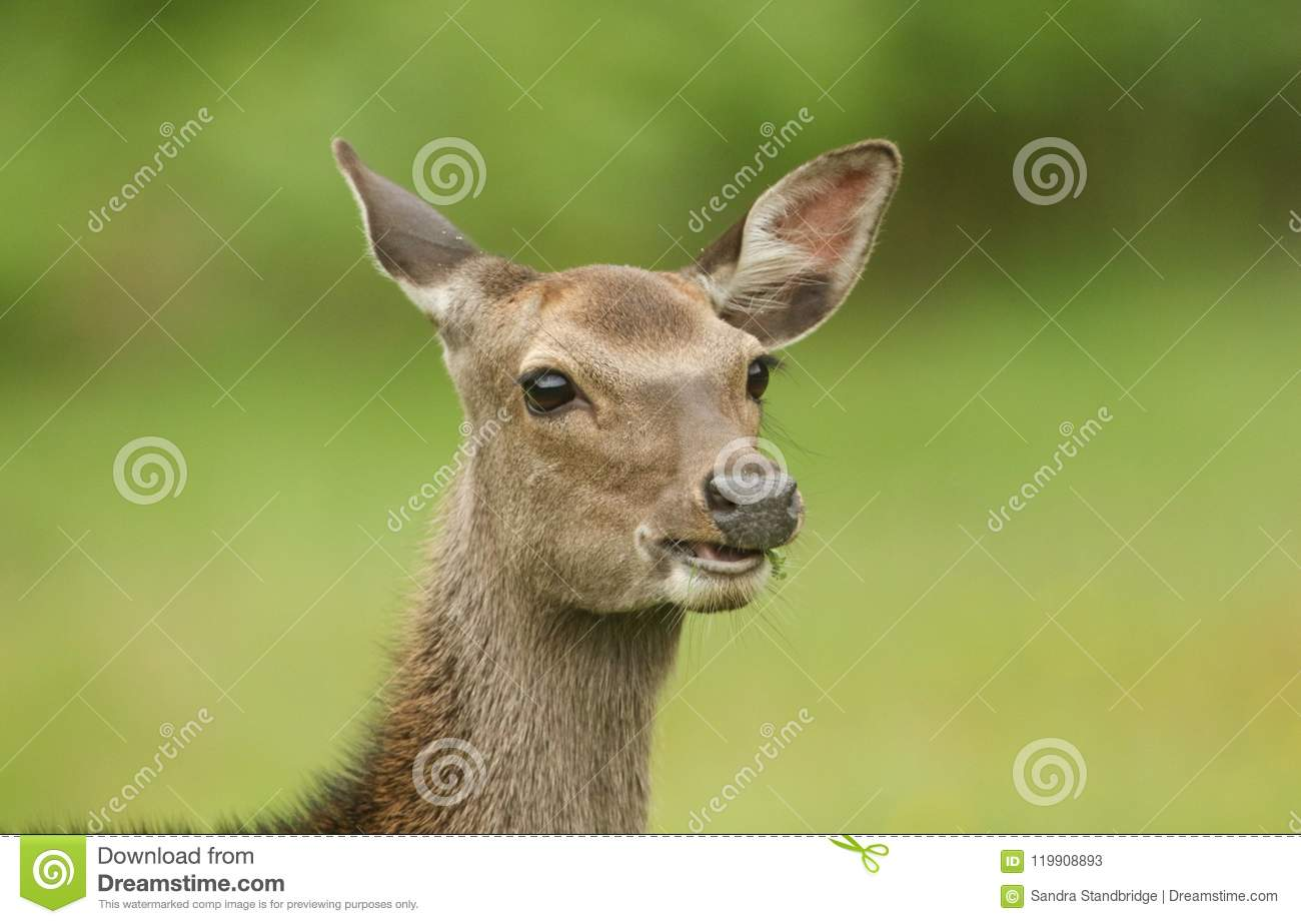 A Head Shot Of A Beautiful Sika Deer Cervus Nippon Feeding