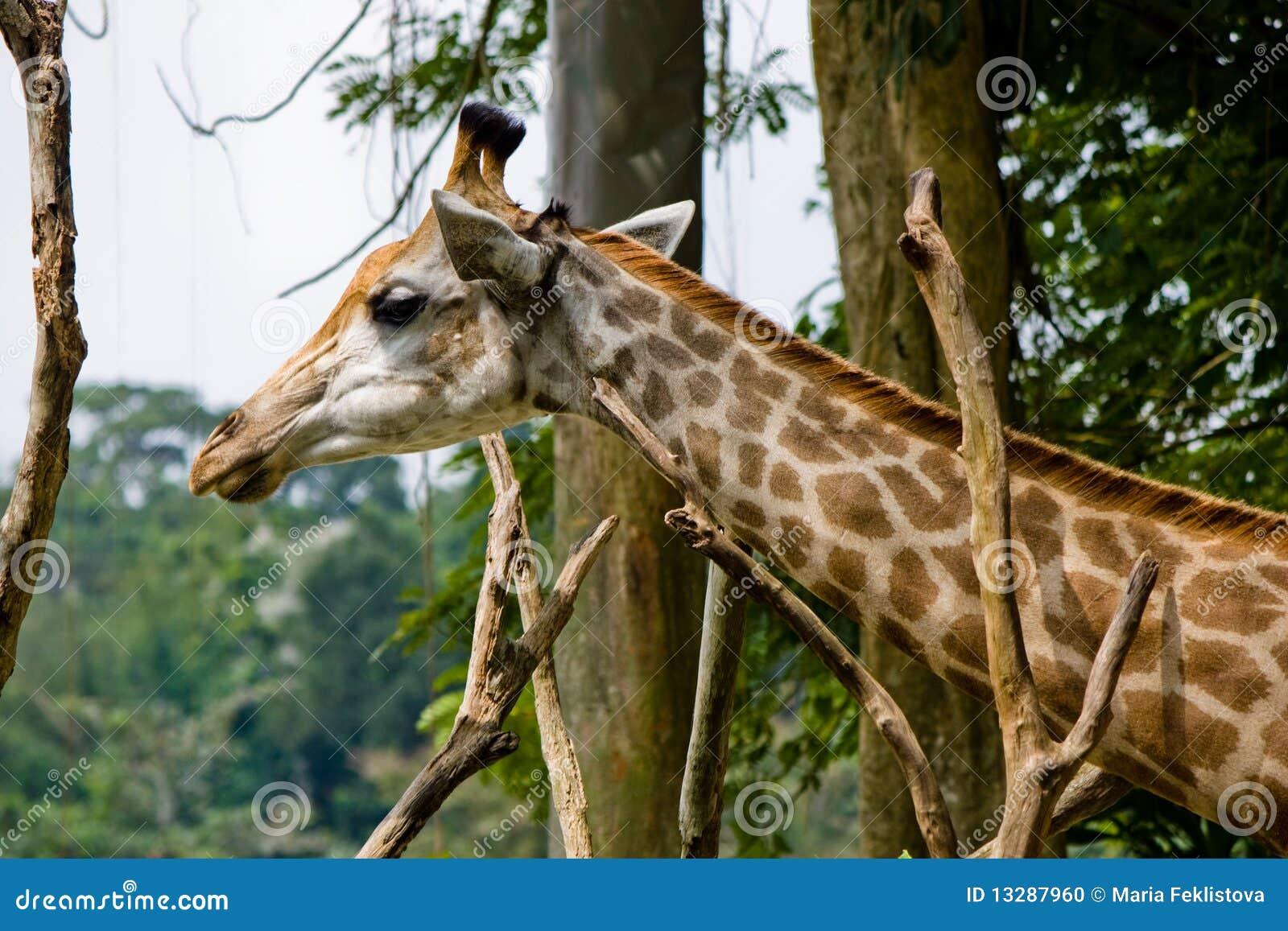 Head shot of Giraffe