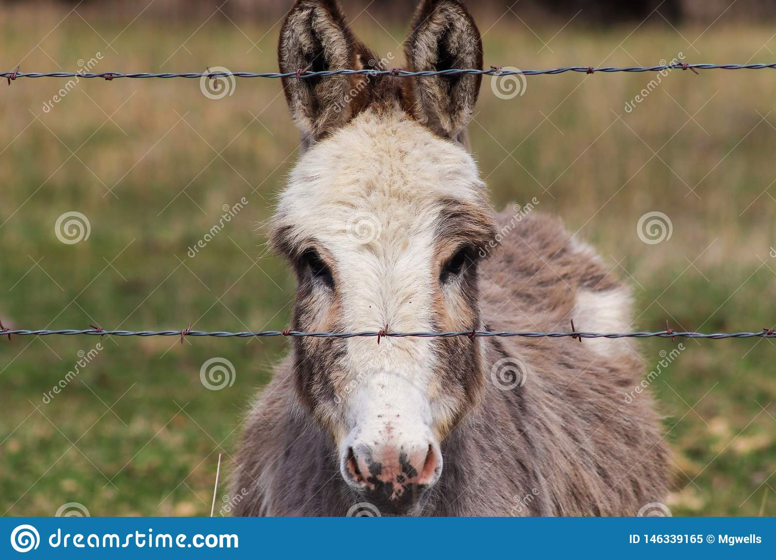 Head shot of a miniature donkey behind fence