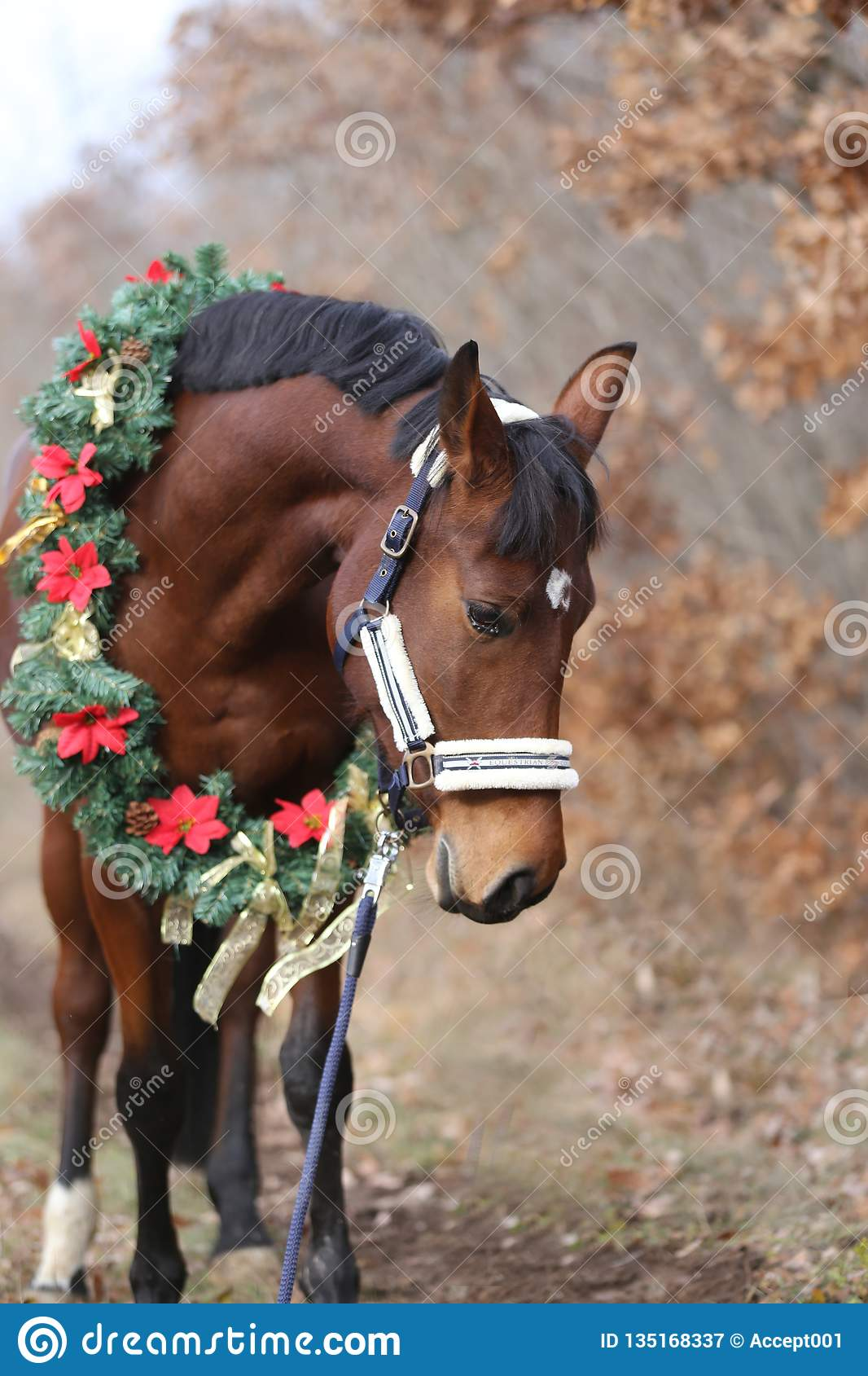 Head Shot Portrait Of A Christmas Horse At Rural Scene Against Natural Background Editorial Photography Image Of Gift Event 135168337
