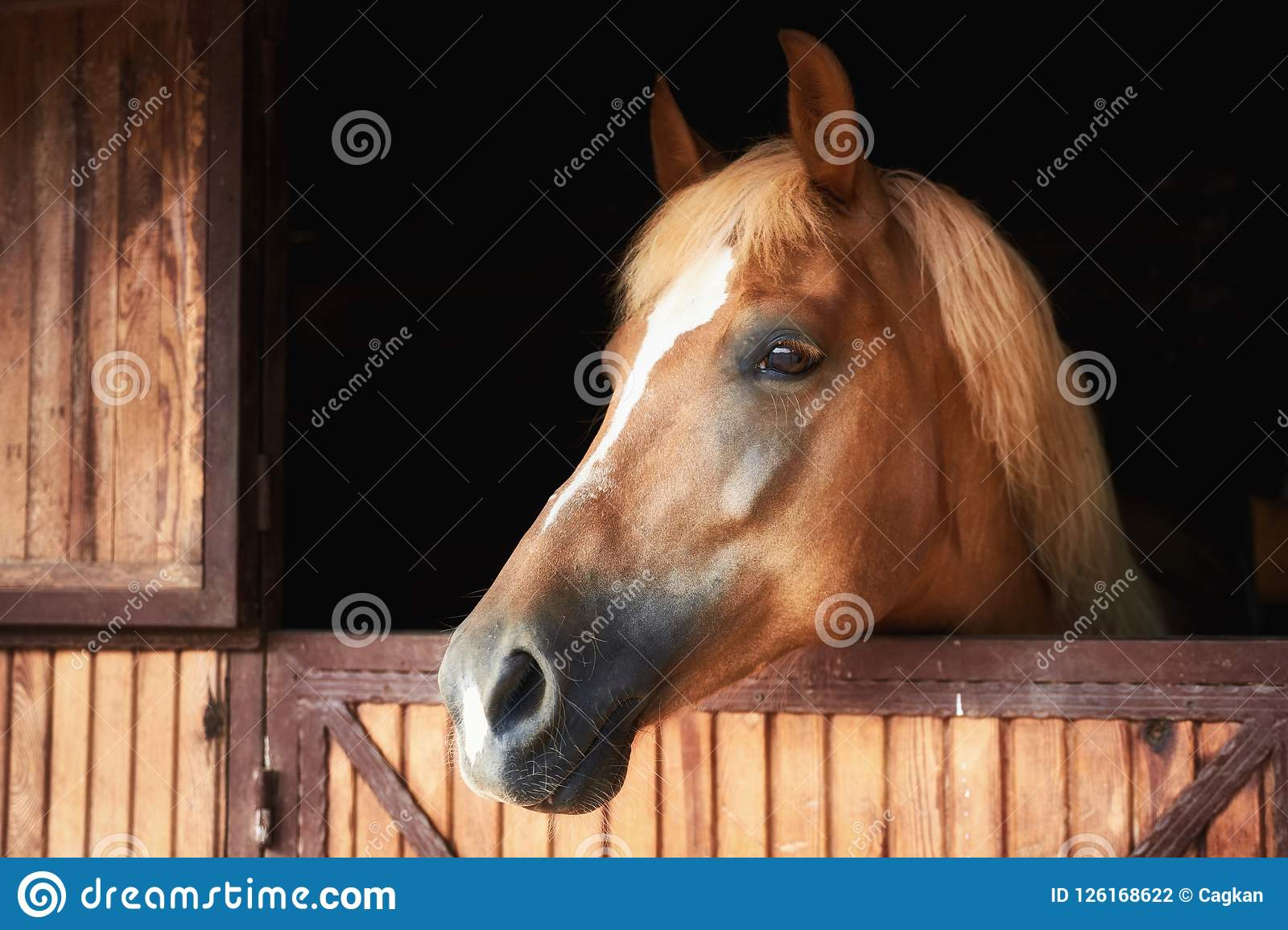 Head Shot Portrait Of A Horse In A Barn Stock Photo Image Of Breed Exterior 126168622