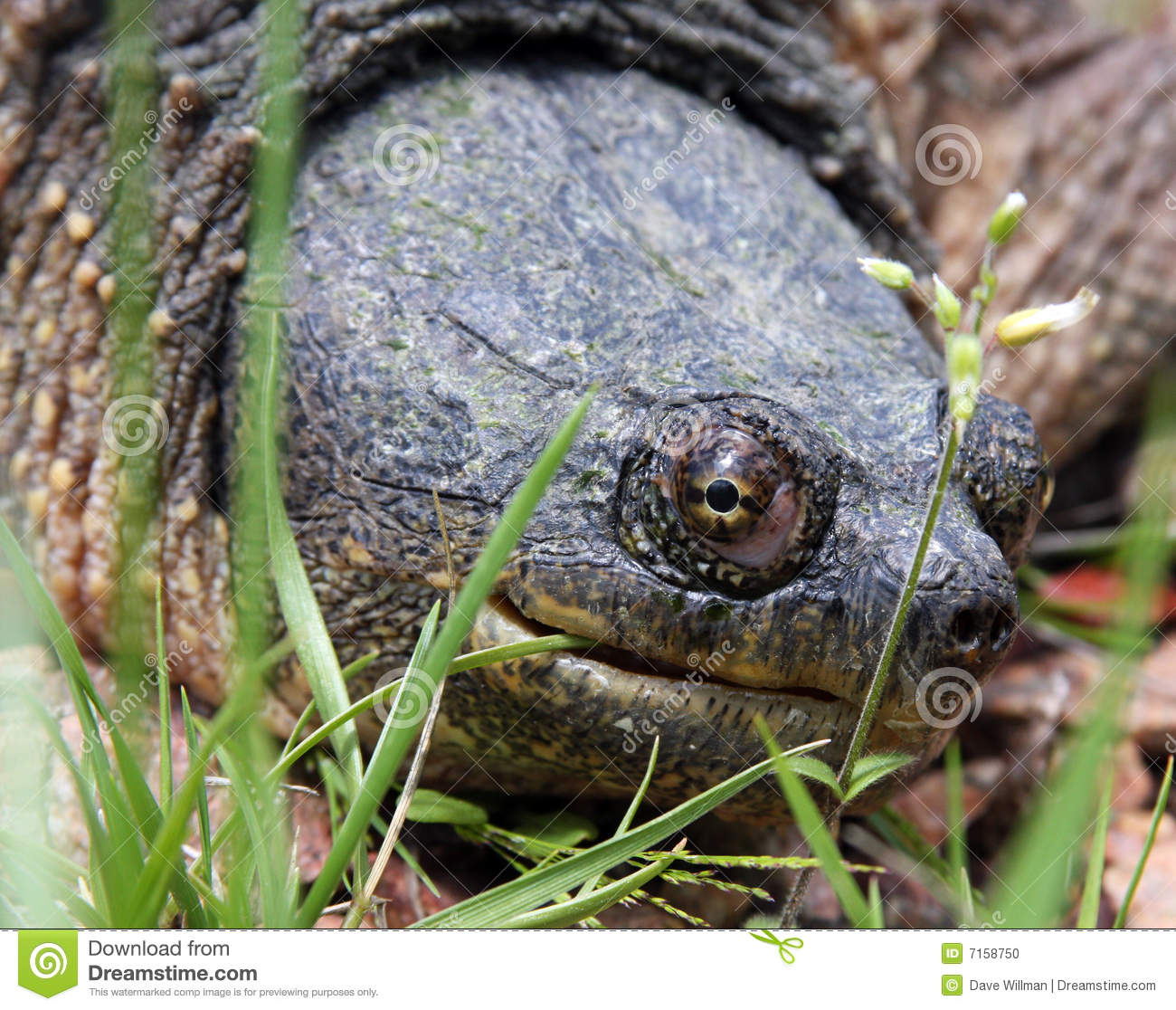 Head shot of a snapping turtle