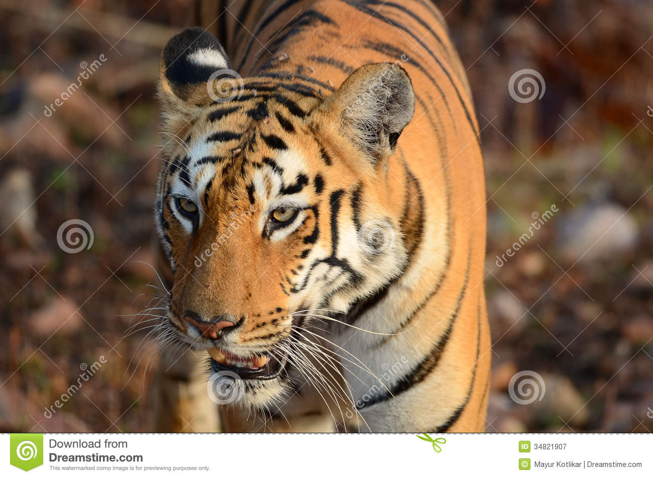 Head shot of a wild tiger looking away