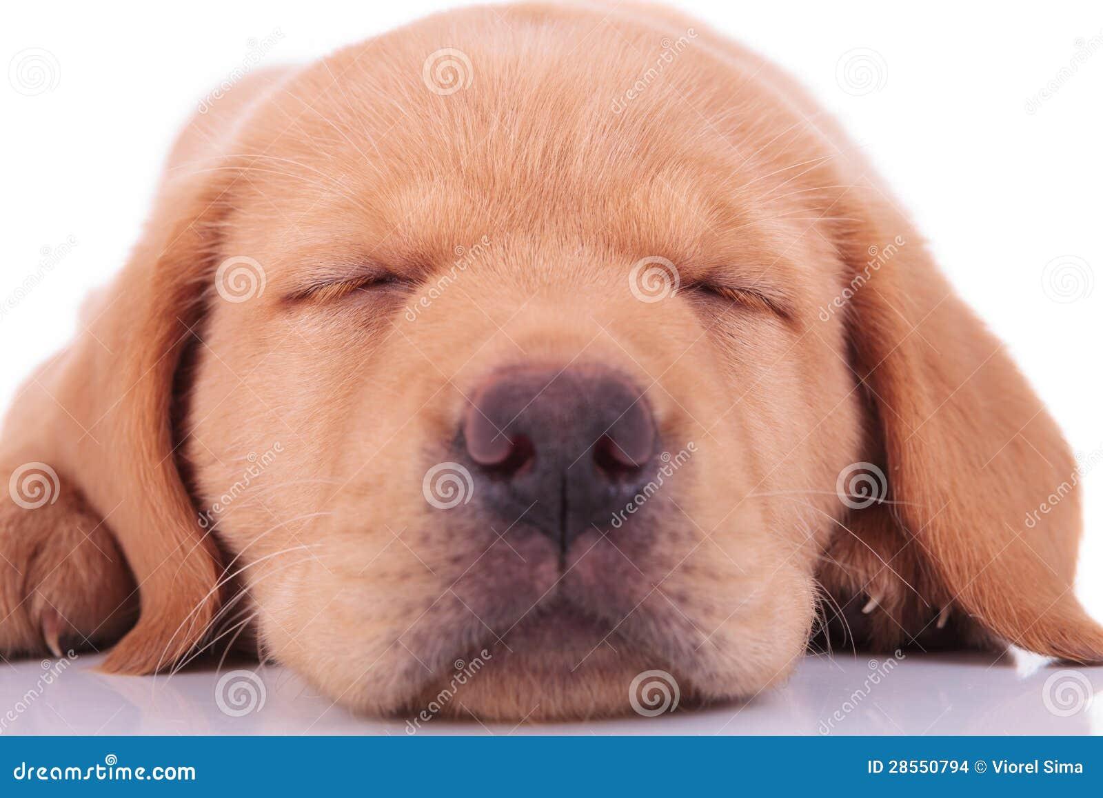 Head of a sleeping labrador retriever puppy dog