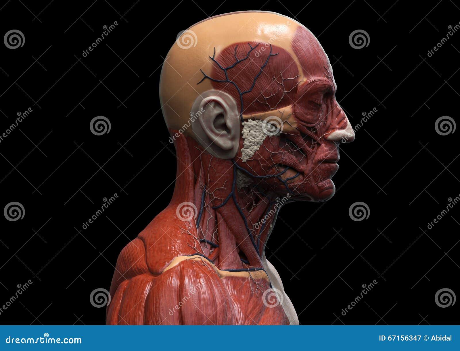 Head And Torso Anatomy Stock Illustration Illustration Of Human