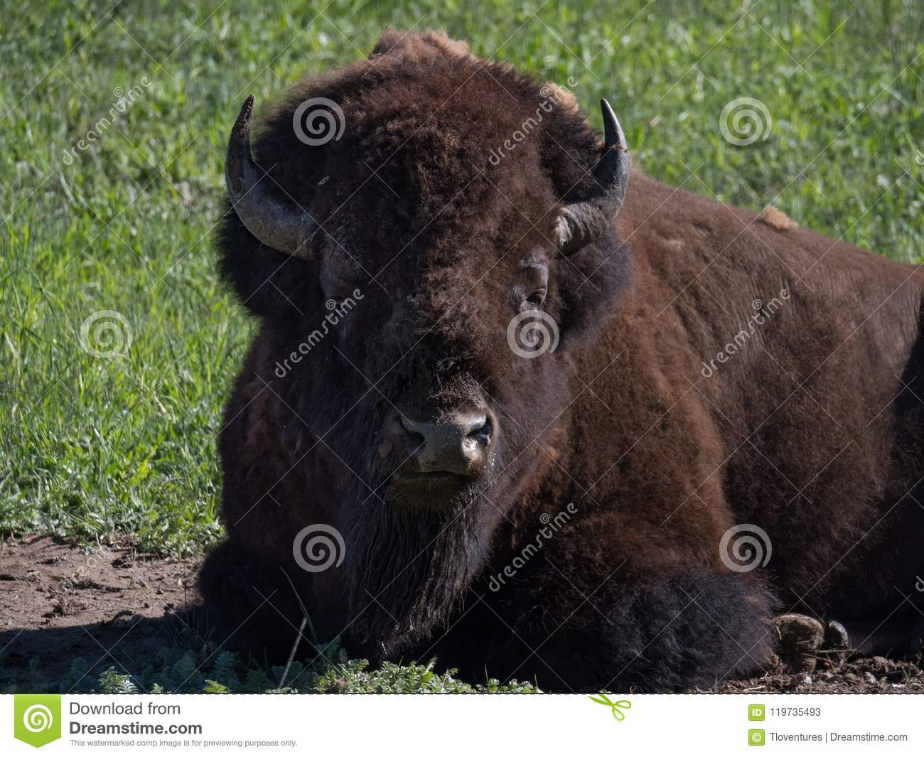 Head And Torso Of A Resting Male American Bison Stock Image - Image ...