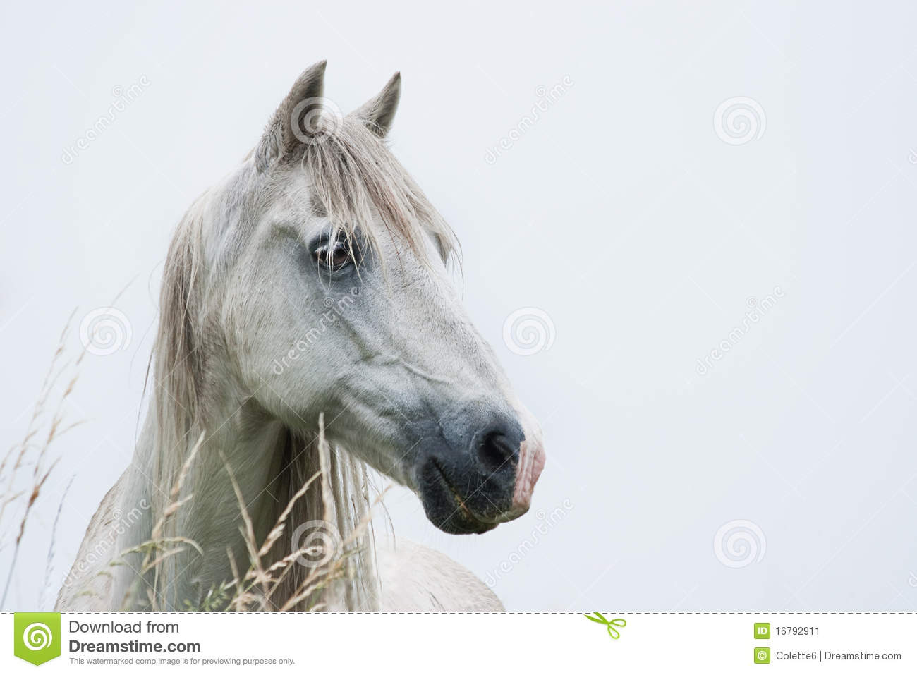 33 987 Head White Horse Photos Free Royalty Free Stock Photos From Dreamstime