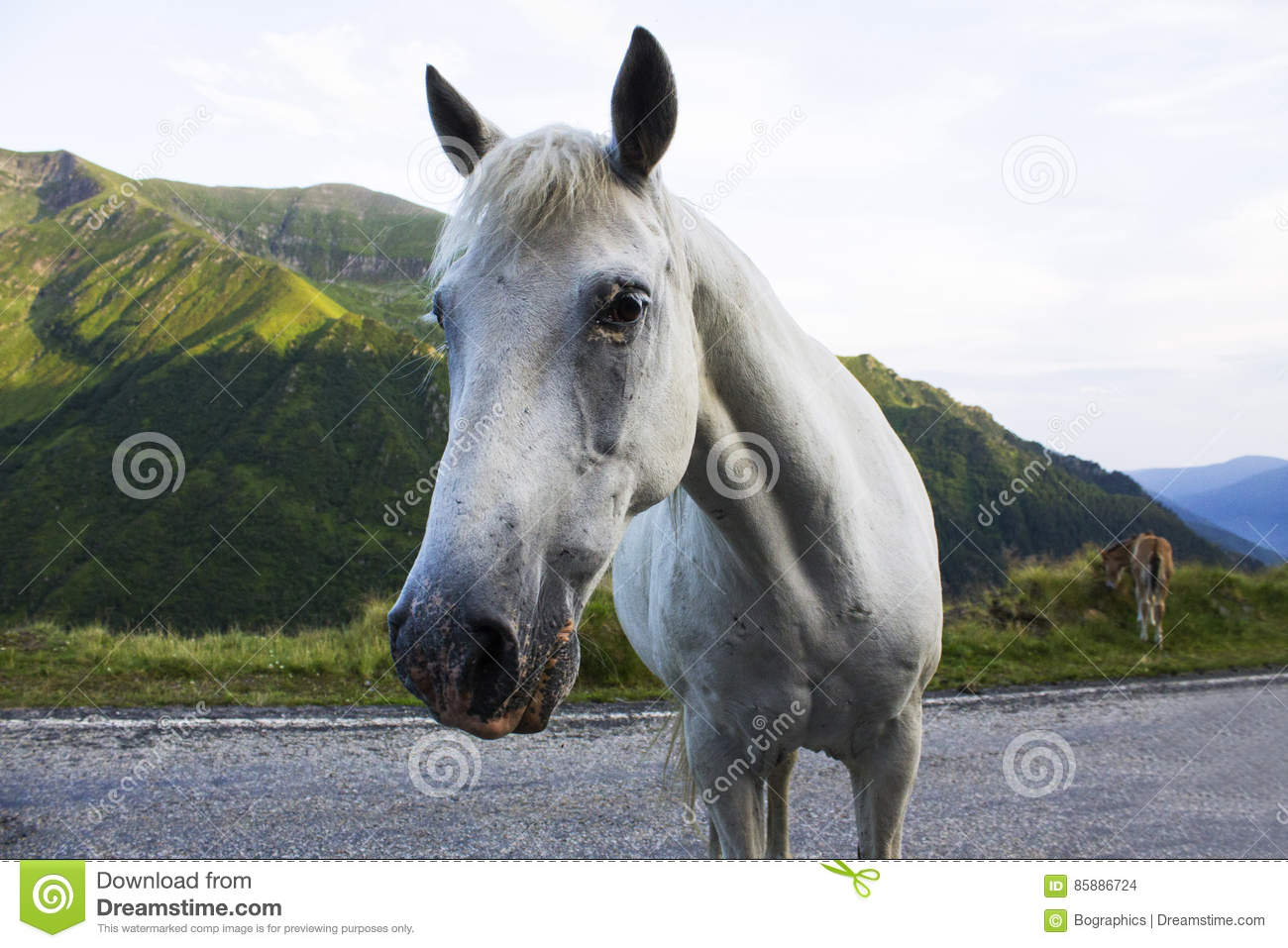 Download Head Of White Horse Looking At Camera On Road Stock Photo - Image of carpathian, look: 85886724
