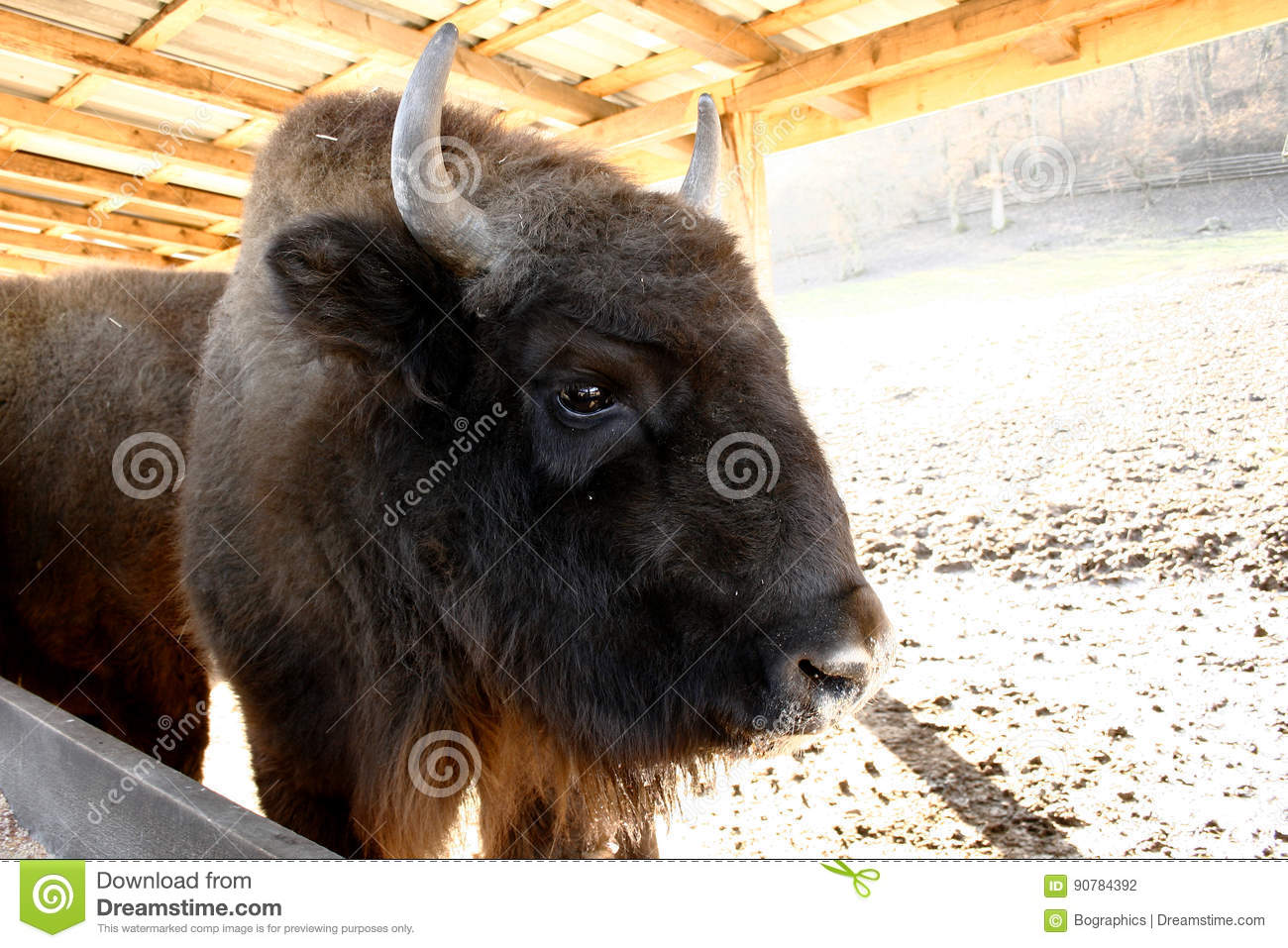 Head of wisent, the European bison