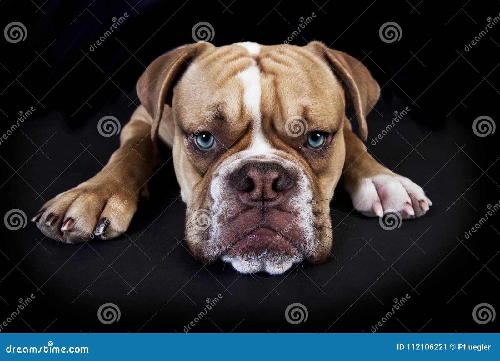 Olde english bulldog black background