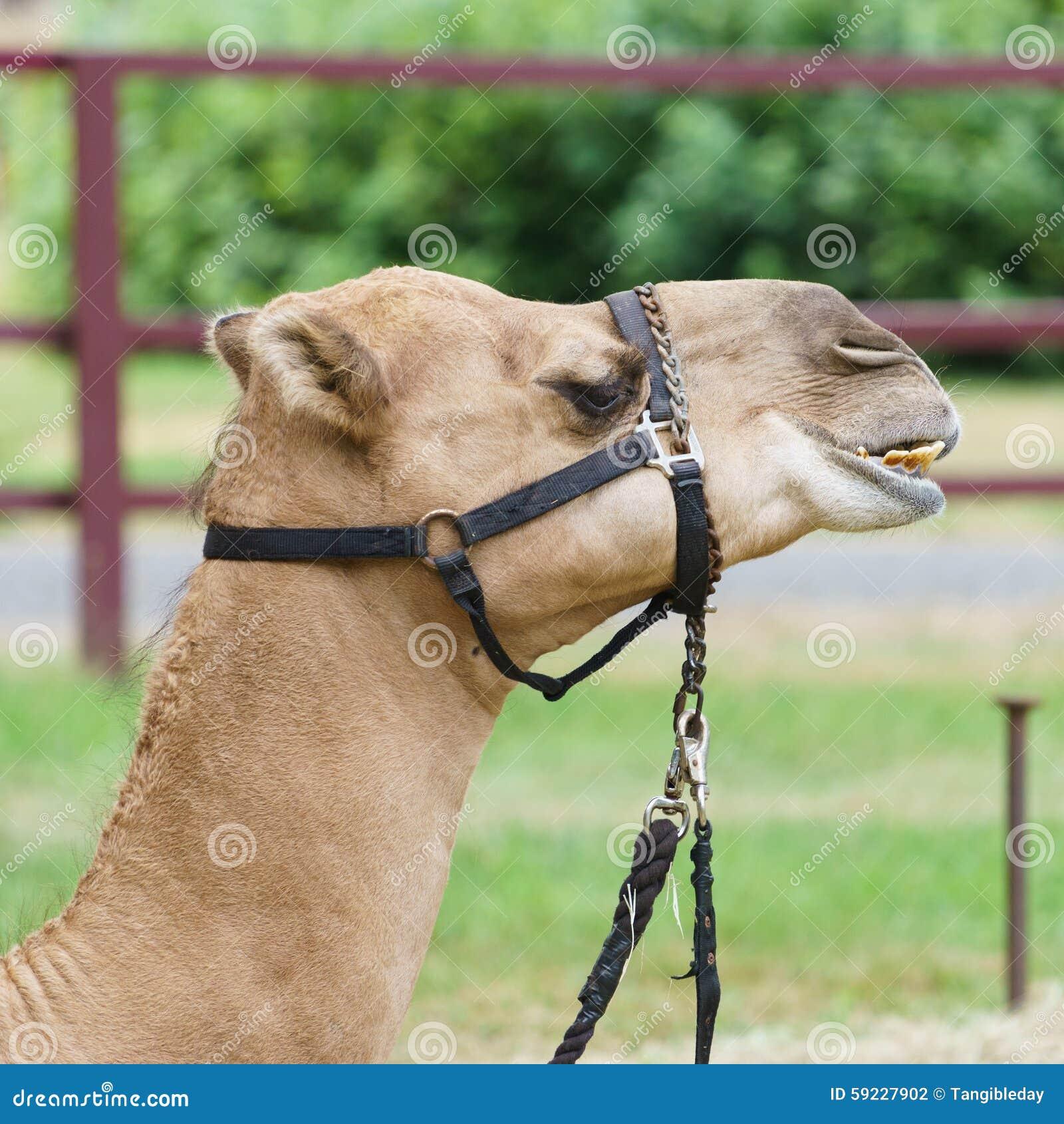Headshot del camello