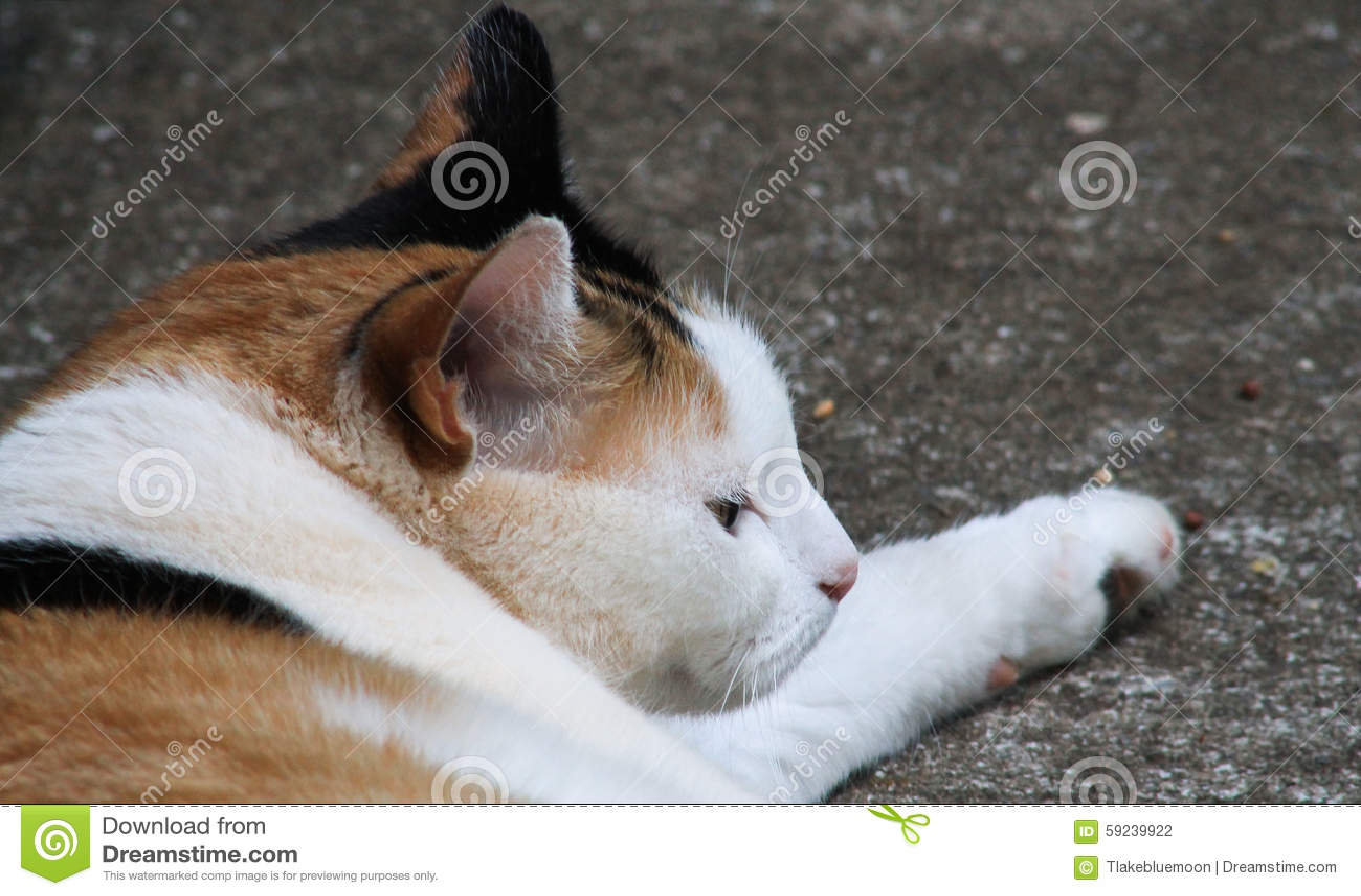 Headshot del gato de calicó