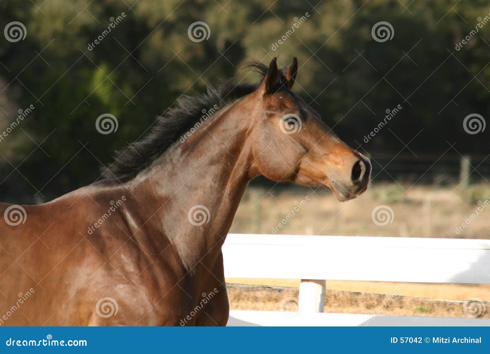 Headshot do cavalo