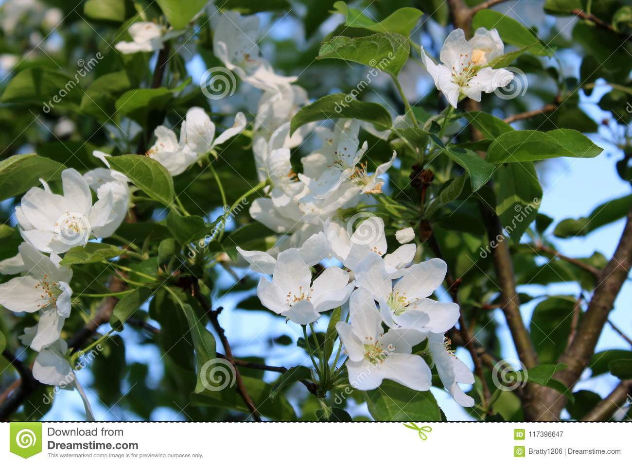 Fragrant White Flowers On Branches Of Tree With Blue Skies Beyond
