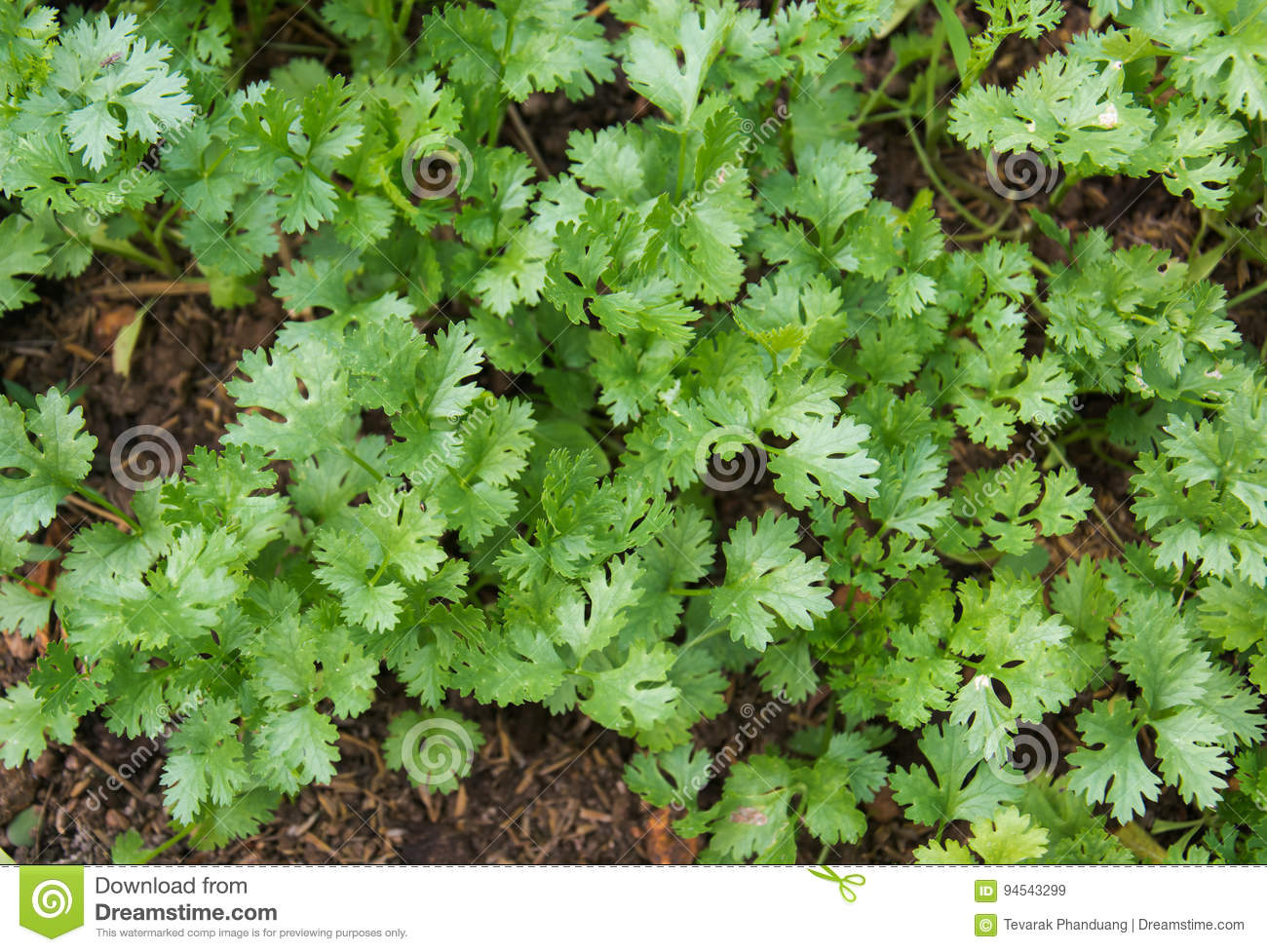 health benefits of coriander. coriander is loaded with