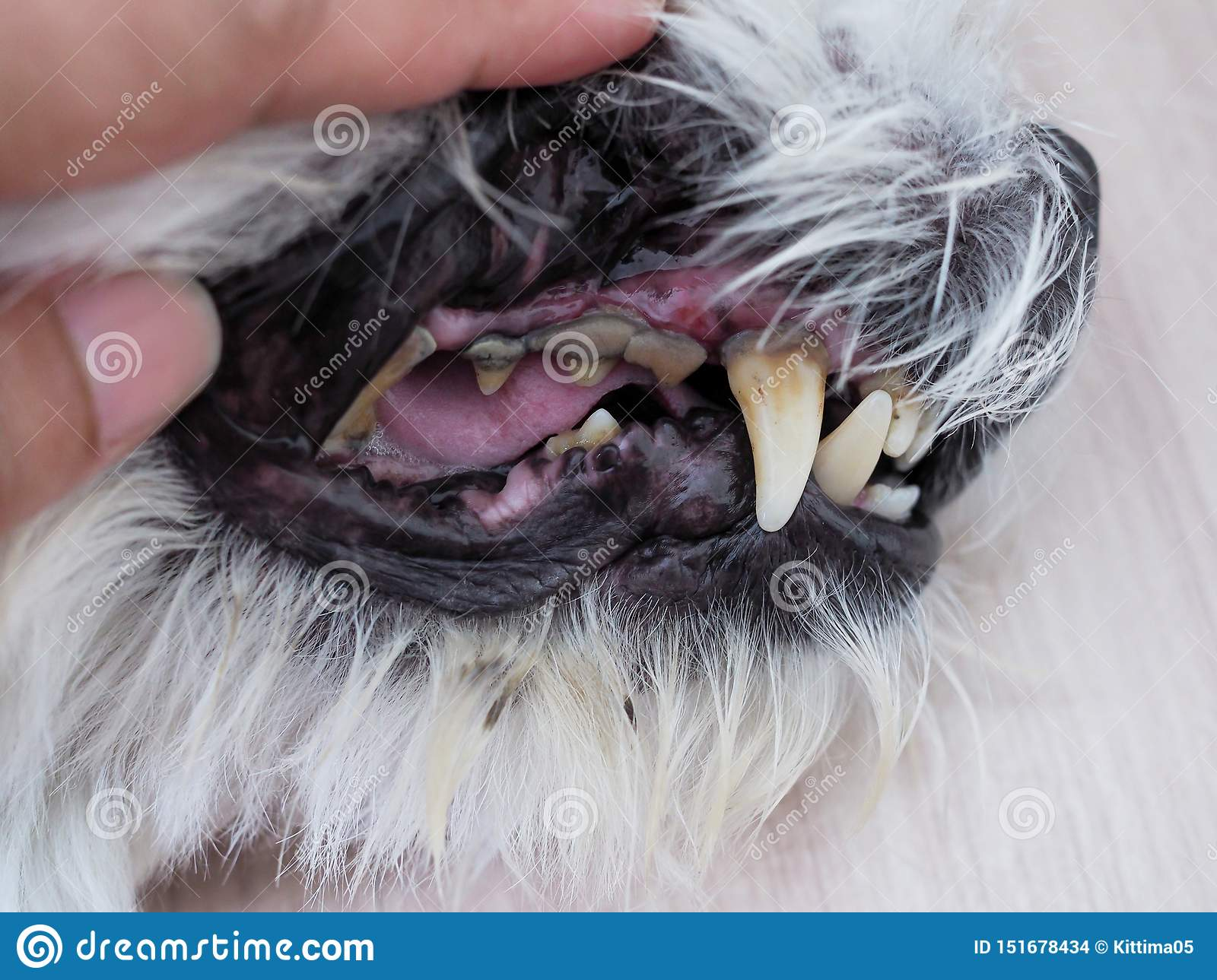 Health with mouth of the dog Toothache, tooth decay and limestone stains