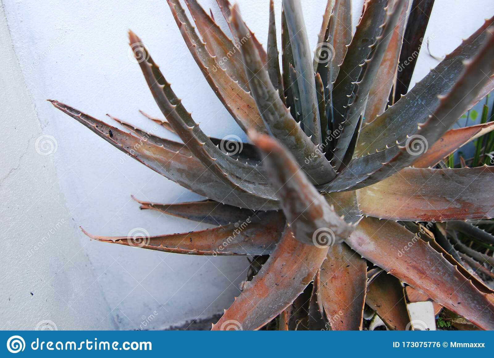 Healthy Aloe Vera Plant Growing Wild Against A White Wall Stock Photo Image Of Growing Brown 173075776