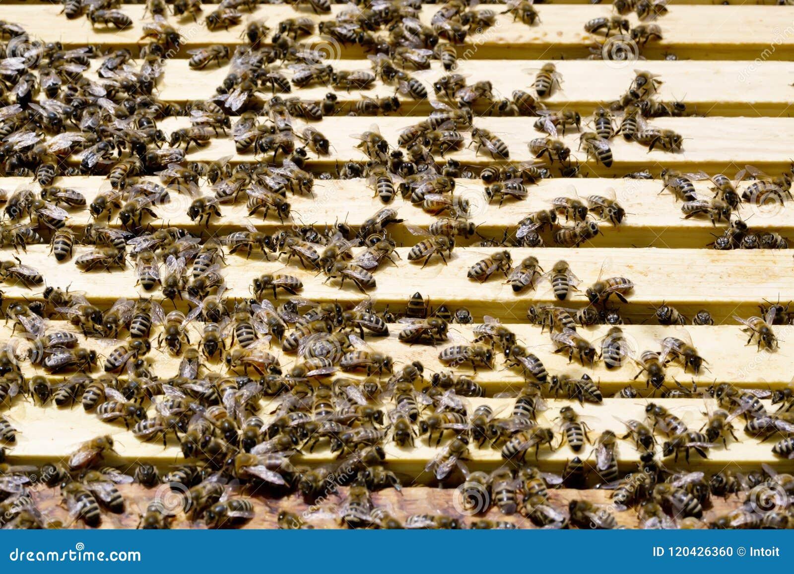 Colony of Honey Bees