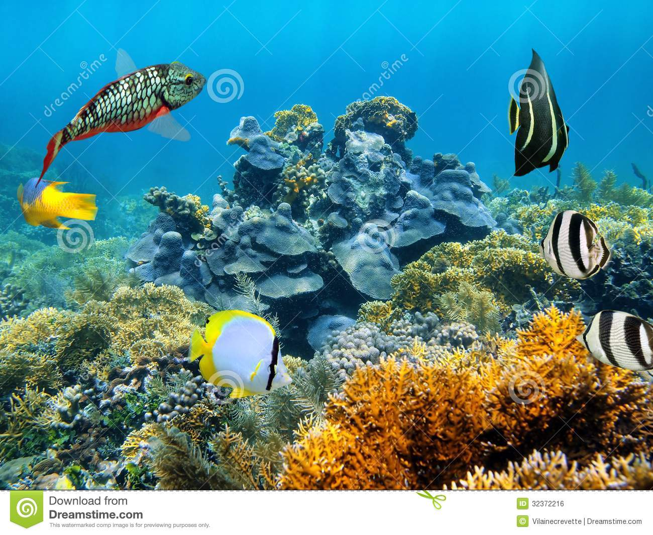 Healthy coral reef royalty free stock image image 32372216 for Caribbean reef fish