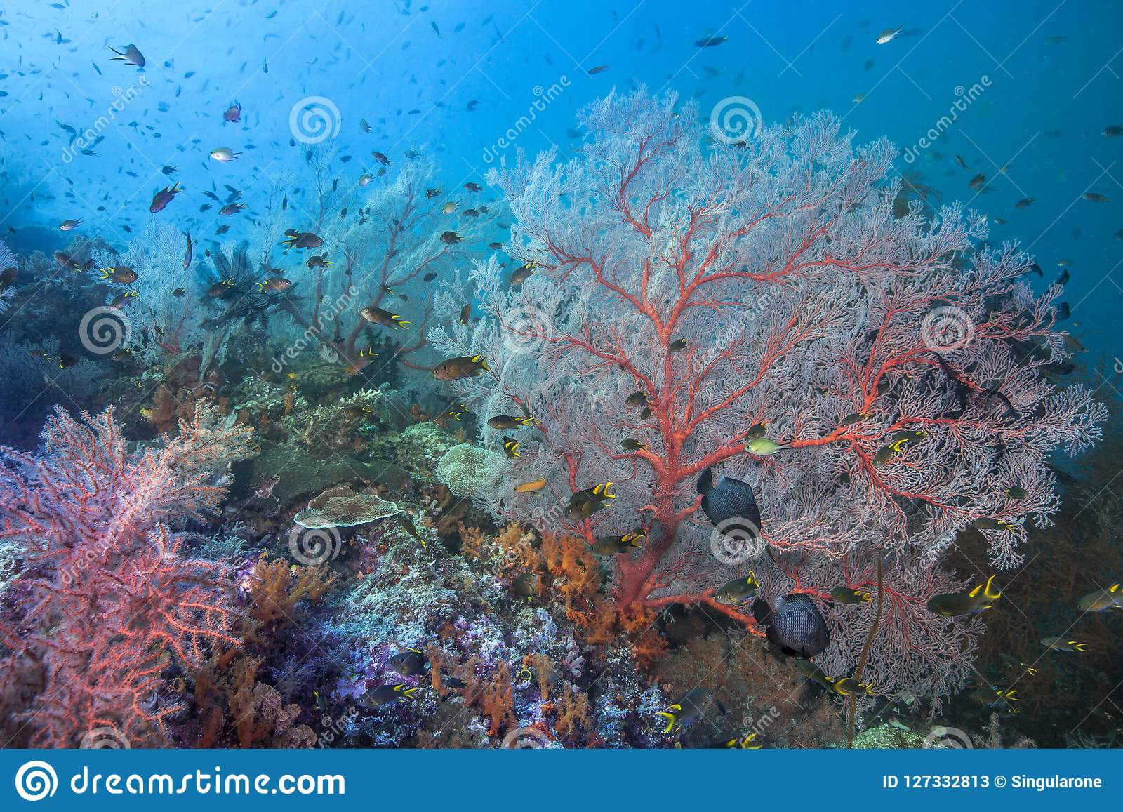 Healthy coral reef in heart of the coral triangle
