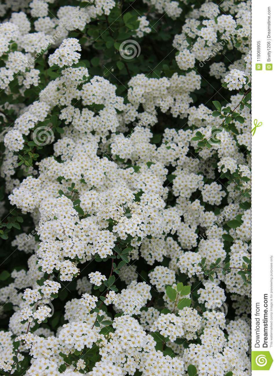 Pretty White Clusters Of Flowers On Healthy Bushes With