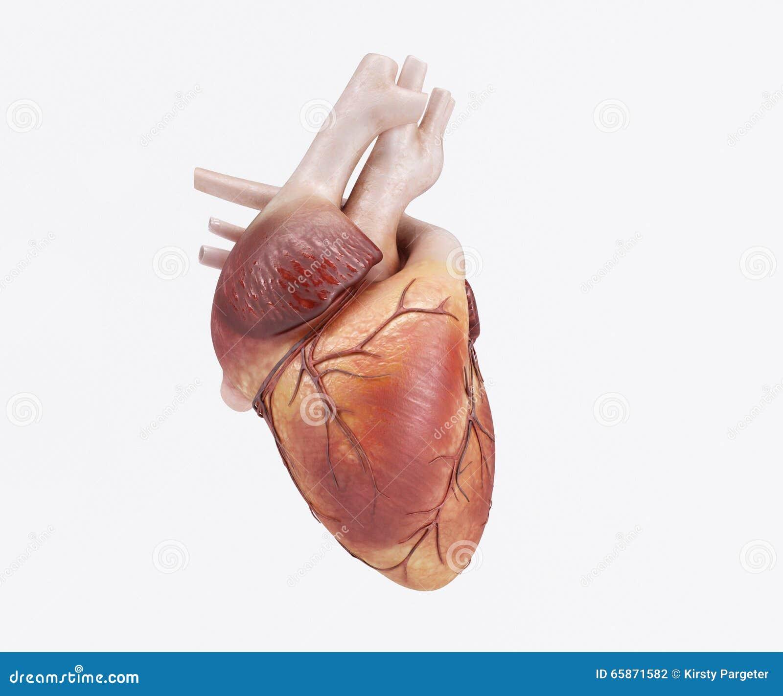 Healthy Human Heart stock illustration. Image of aorta ...