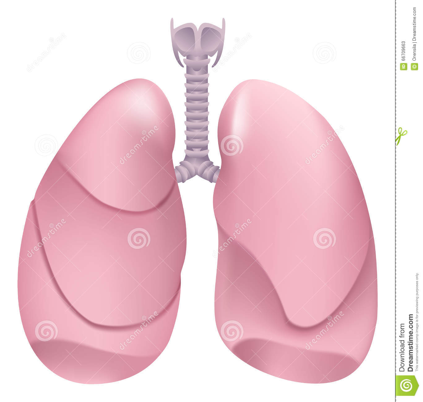 lung respiratory system and lungs Respiratory system anatomy – major zones & divisions the respiratory is separated into the conducting zone and the respiratory zone the conducting zone include structures that facilitate air to move in and out of the lungs the respiratory zone allow inhaled oxygen to diffuse into the lung capillaries in exchange for carbon dioxide.