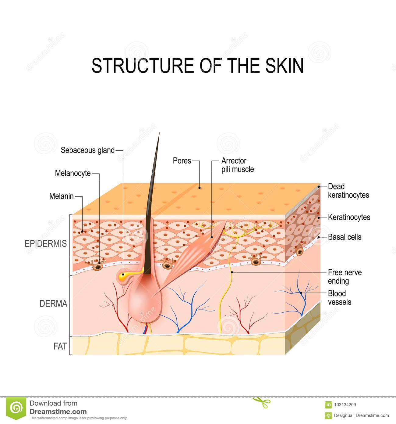Ap1 Diagram Skin Hair Illustration Of Wiring Diagram