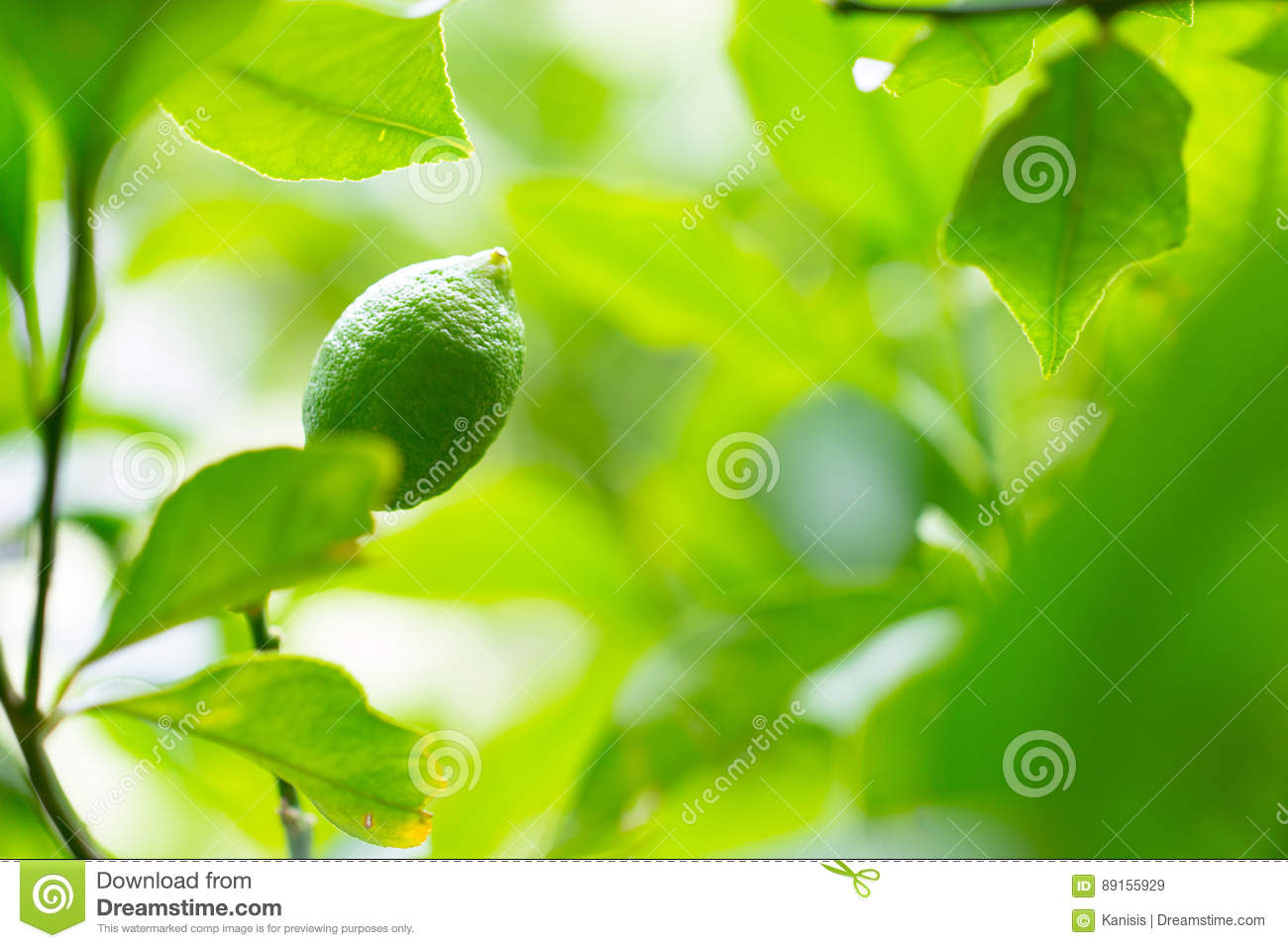 Healthy lime, lemon, citrus on a beautiful green tree branch full of leaves and bright sunlight as
