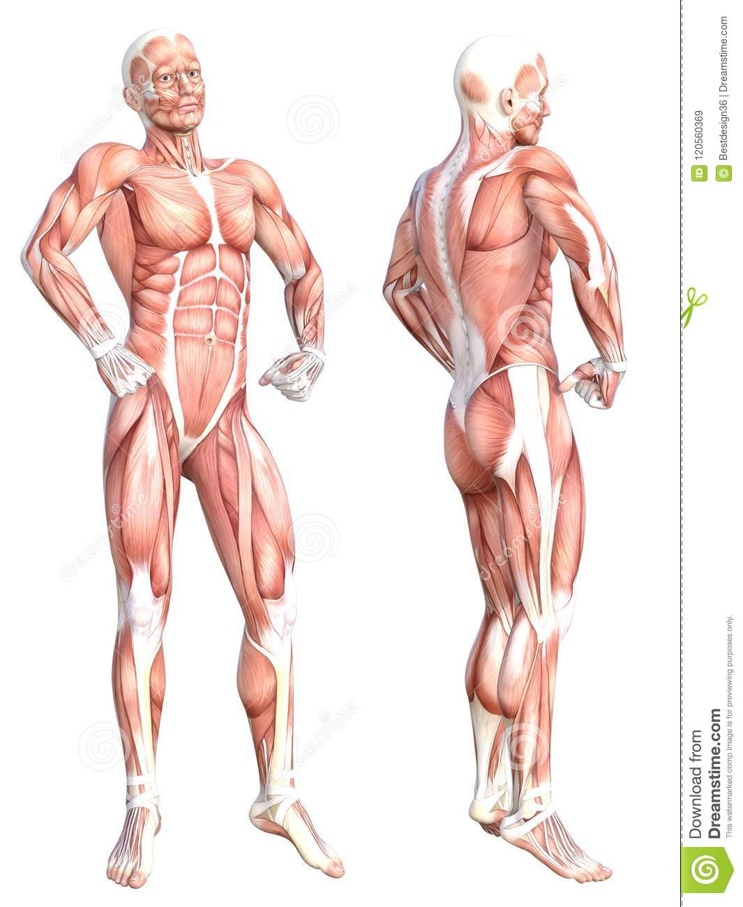 Healthy Skinless Human Body Muscle System Set Stock Illustration
