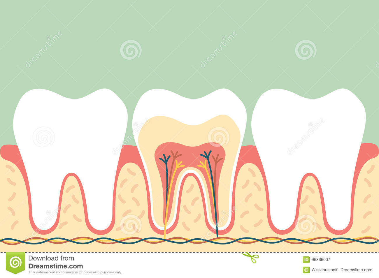 Healthy tooth anatomy stock illustration. Illustration of character ...