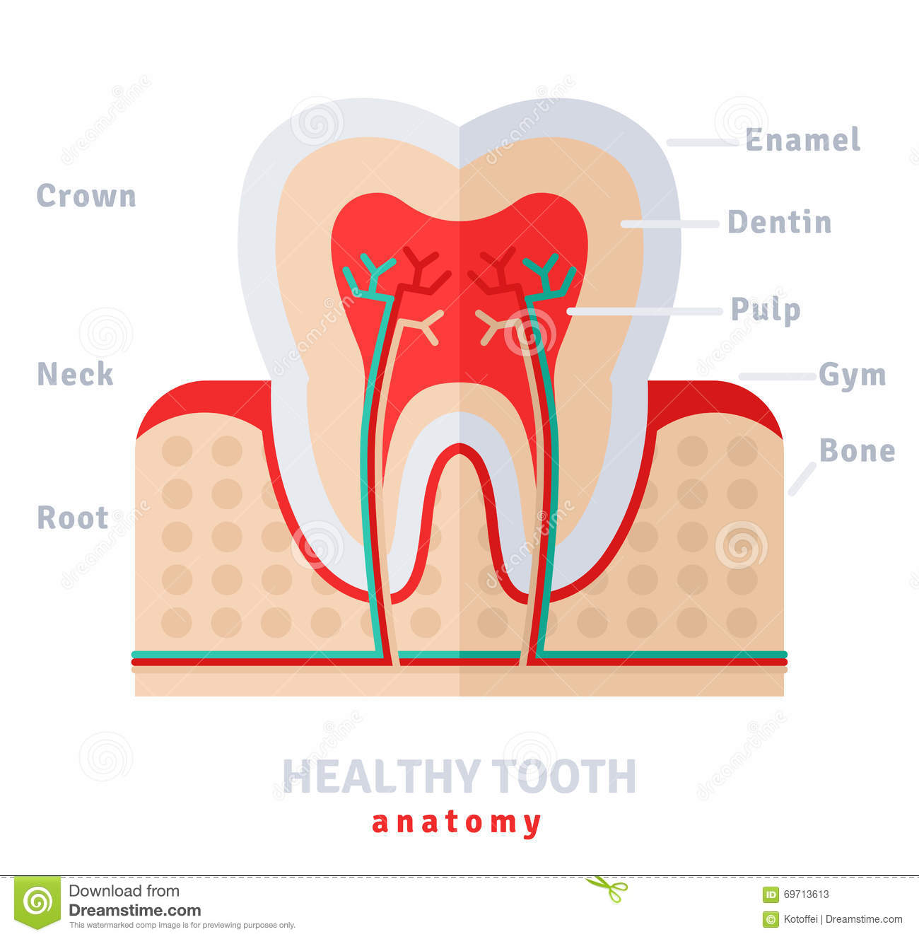 Healthy White Tooth Anatomy Flat Stock Vector Illustration Of