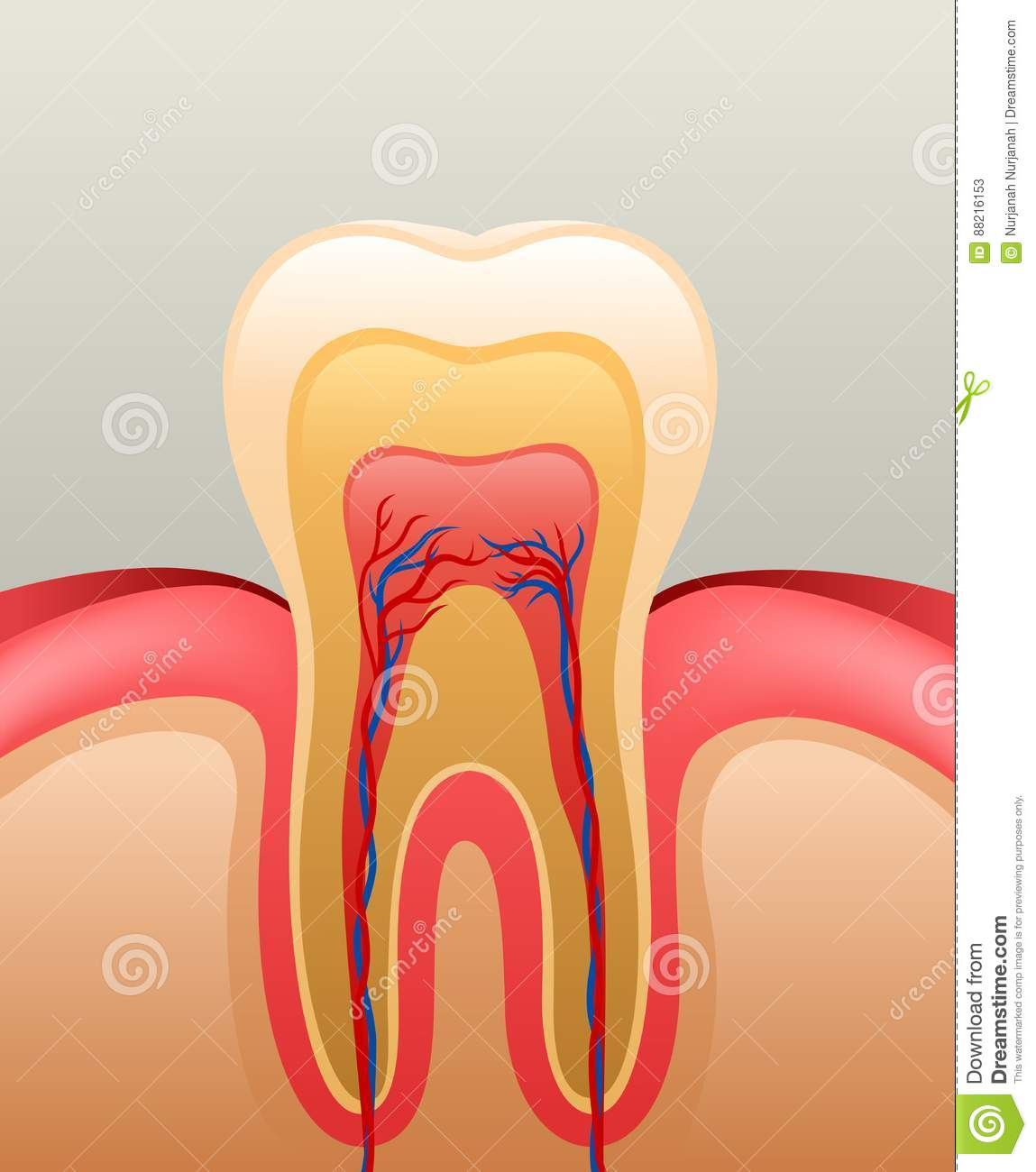 Healthy White Tooth Gums And Bone Stock Vector Illustration Of