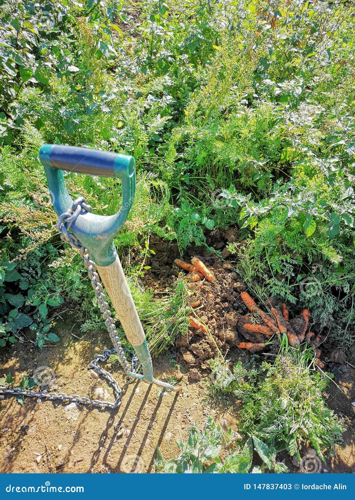 Healty-Ernten - wie man Karotten auswählt