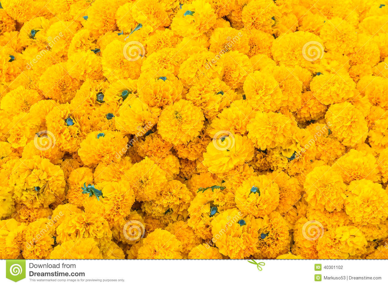 006588250e6 Heap of Marigold flowers stock photo. Image of botanical - 40301102