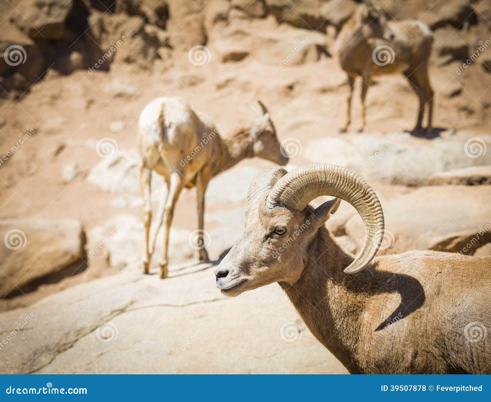 Heard of Desert Bighorn Sheep
