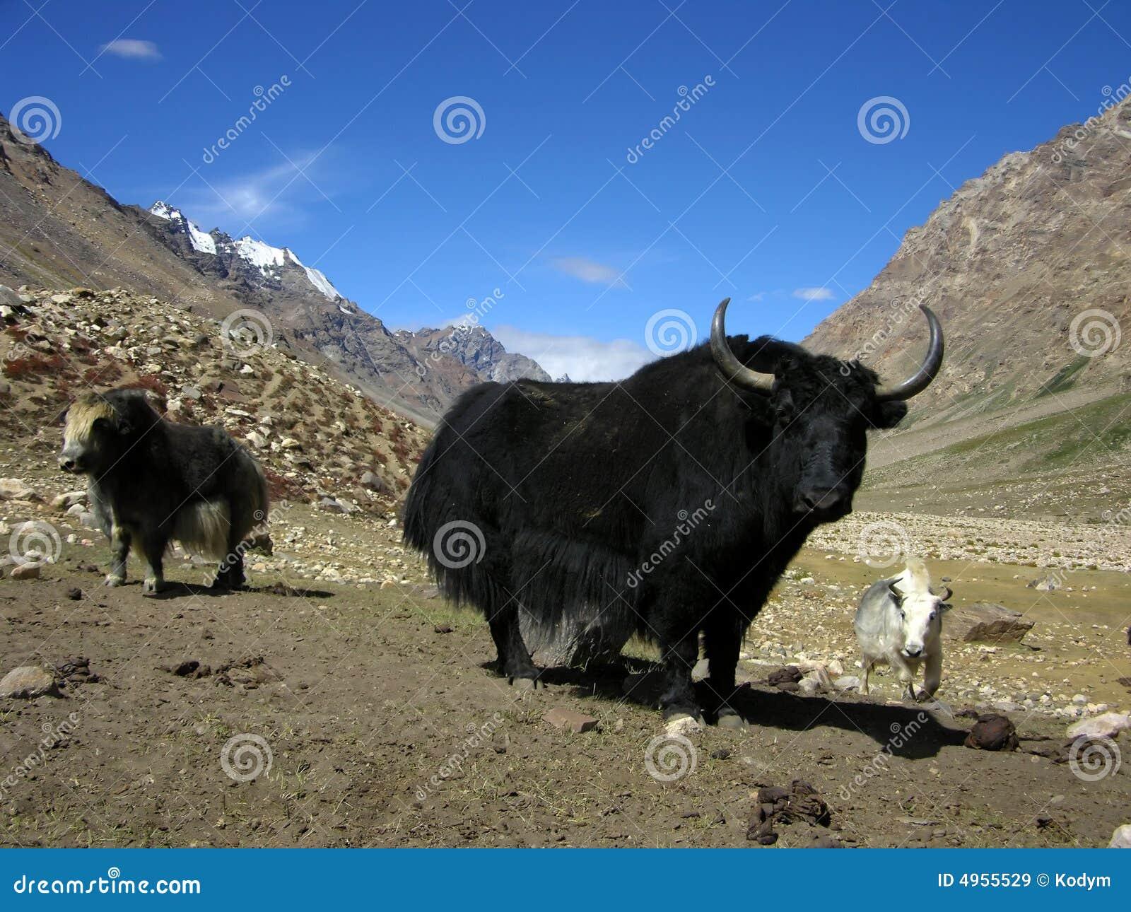 Heard of yaks