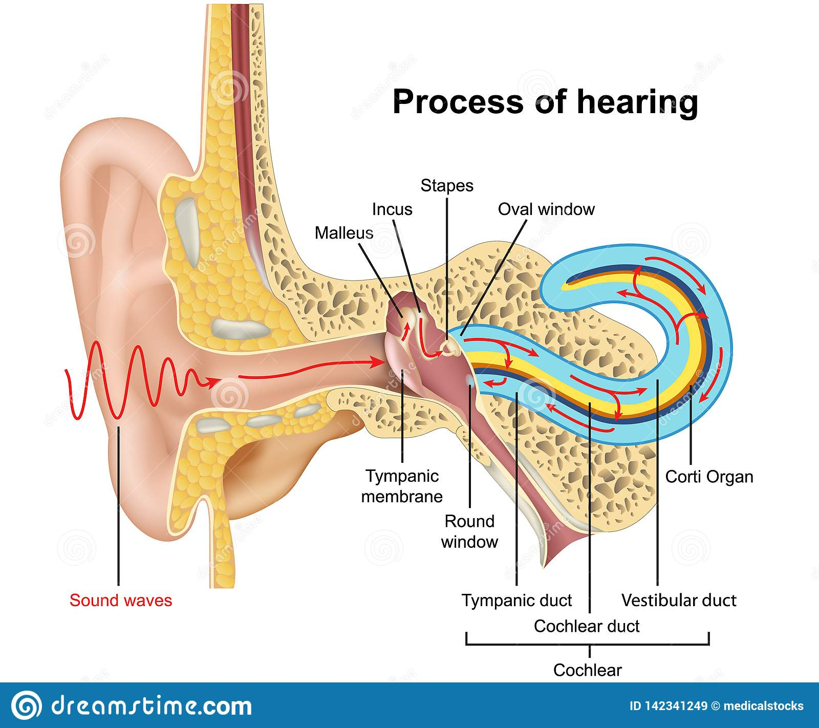 hearing process, ear anatomy 3d illustration on white background eps 10