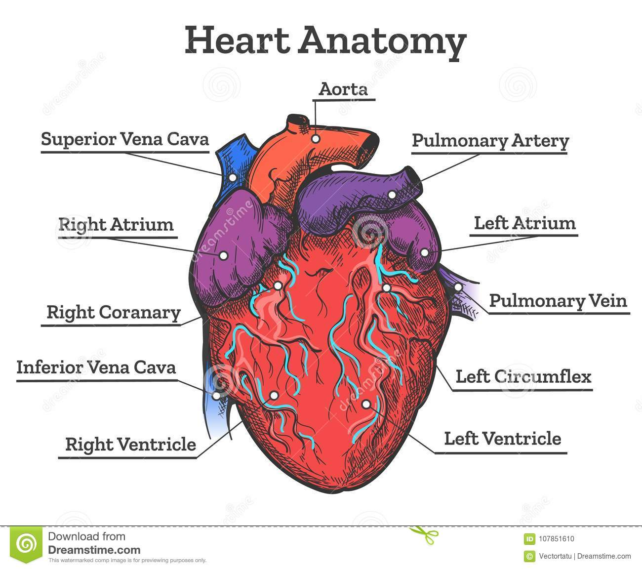 Heart Anatomy Colored Sketch Stock Vector Illustration Of Drawn
