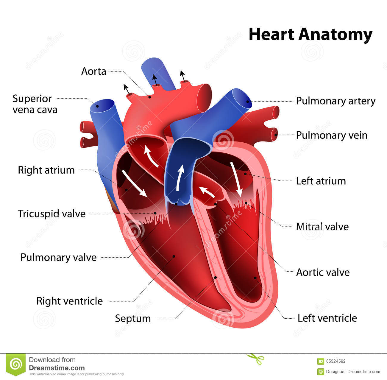 Heart anatomy stock vector illustration of circulation 65324582 heart anatomy part of the human heart ccuart Images