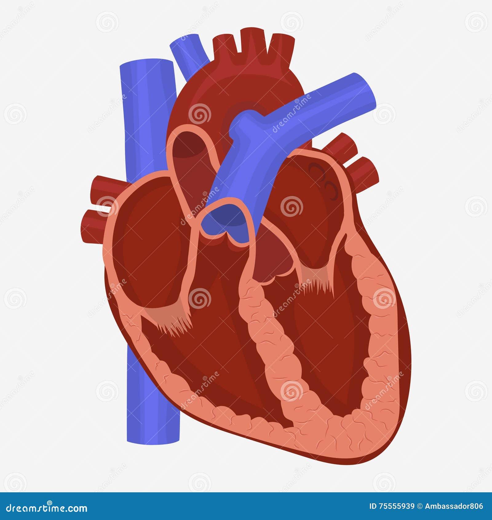 Heart Anatomy Vector Stock Vector Illustration Of Illustration