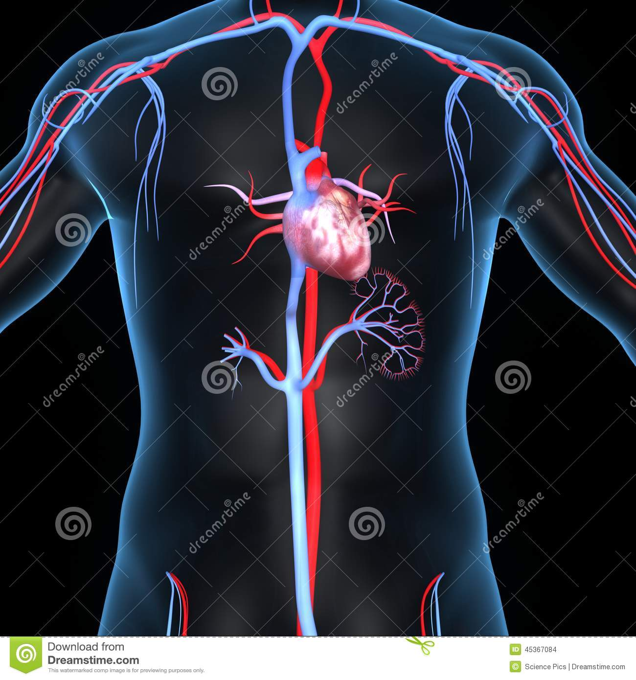 Heart With Arteries And Veins Stock Illustration Illustration Of
