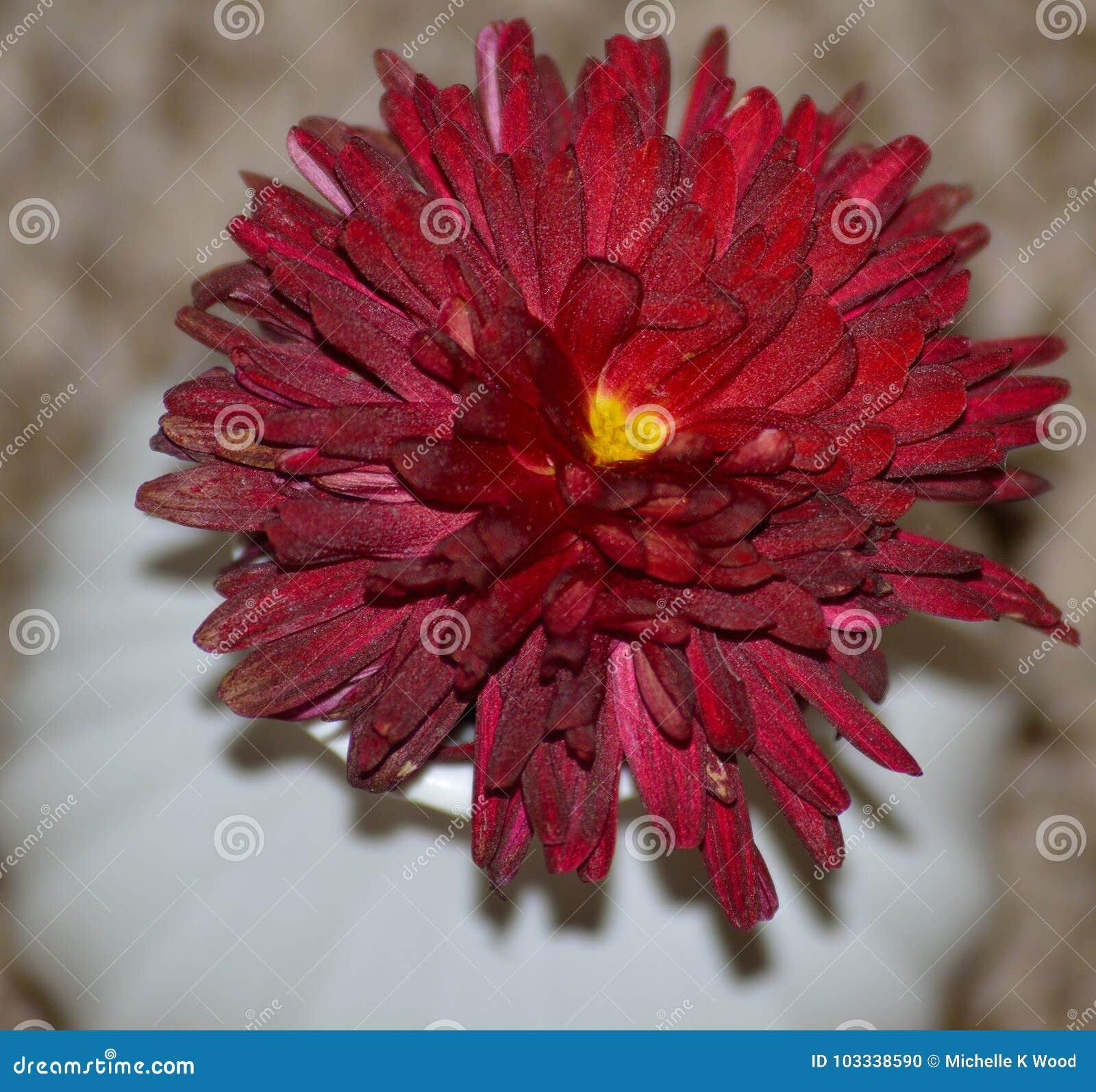 Heart centered red chrysanthemum blossom