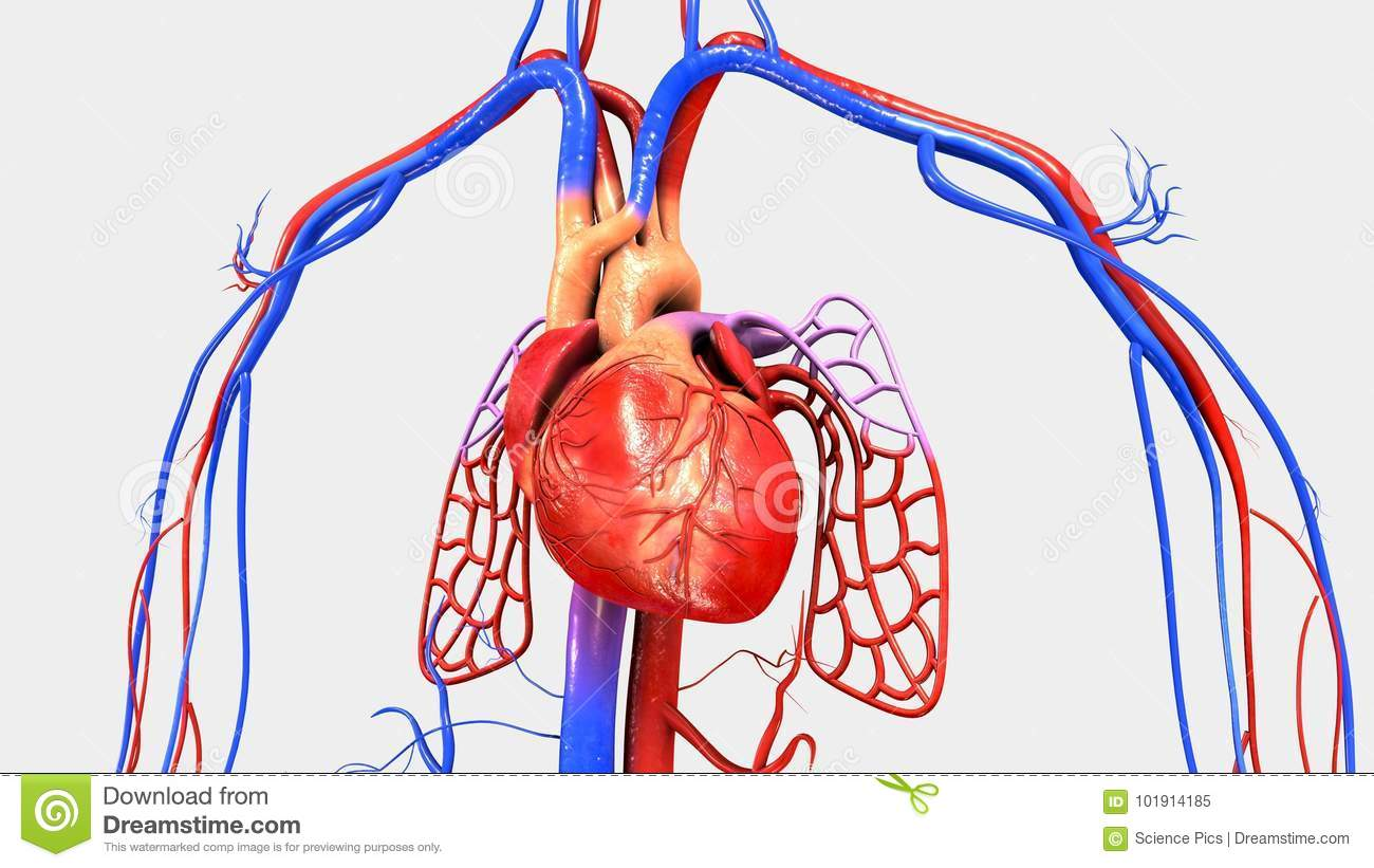 Heart With Circulatory System Stock Illustration Illustration Of