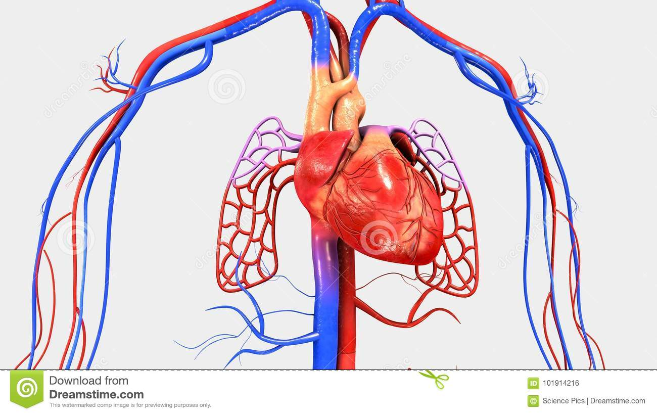 Heart With Circulatory System Stock Illustration